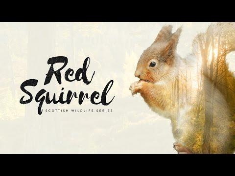 Scottish Wildlife Series: Red Squirrel