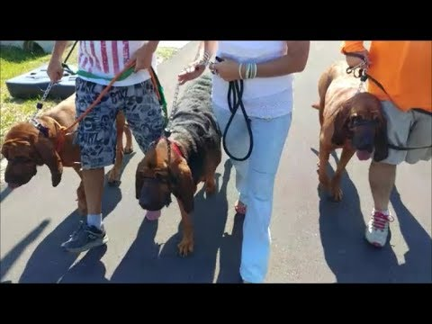 3 Giant Hounds Drag Owners on Walk - Fixed in 5 Minutes - SafeCalm - Dog Whisperer BIG CHUCK MCBRDIE