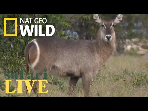 Safari Live - Day 148 | Nat Geo Wild