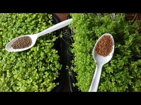 Growing Microgreens - How to Grow Garden Cress and Arugula Microgreens