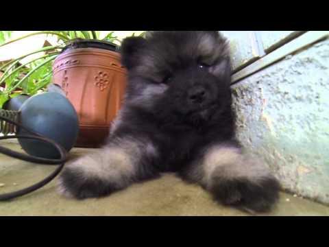 7 Week Old Keeshond Puppy Litter