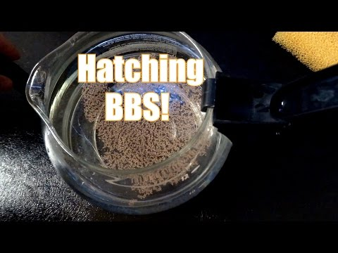 Hatching baby brine shrimp in a coffee pot.