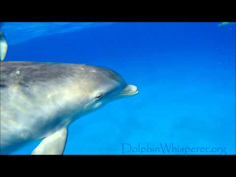 Wild Bottlenose Dolphin going crazy scanning us and blowing his signature whistle