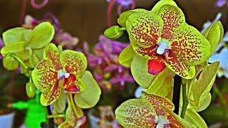 Корни орхидеи будут всегда ЗДОРОВЫ # ДЕЛАЙТЕ КАК Я