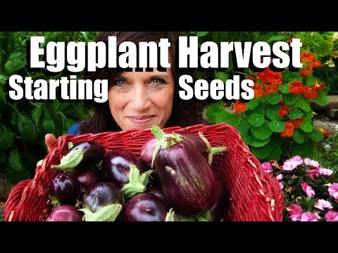 Eggplant Harvest and How to Start Eggplant from Seed