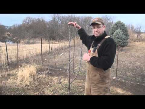 Pruning Young Fruit Trees.wmv