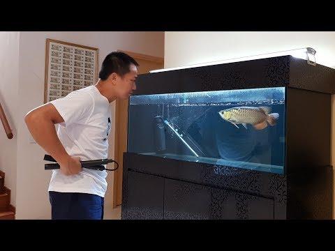 LIOW VIDEO: Update video of my Arowana, flowerhorn & Box turtle 龙鱼, 罗汉鱼,箱龟短片