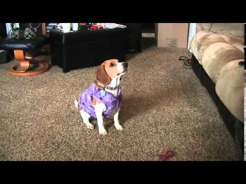 World's most adorable beagle puppy