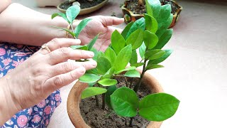 How to Grow Zz Plant (Care and Tips) ||ज़ीज़ी प्लांट|| 25 July, 2017