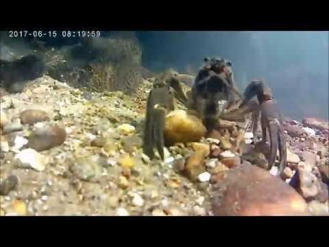 River Bure Crayfish