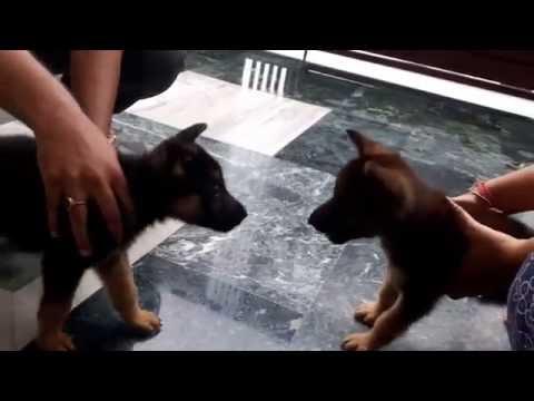 German Shepherd puppy fight