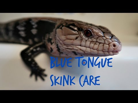 How to care for a blue tongue skink and what you need