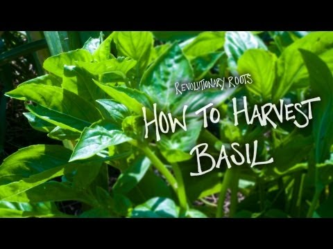 How to Harvest Basil - Farming/Gardening Lesson - Revolutionary Roots