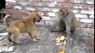 köpekle maymunun sonu bulmaz kavgası. İkisi de bu kavgadan memnun oyun oynuyorlar :)