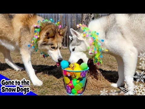 Dog Easter Egg Hunt | Husky Hunting for Easter Eggs