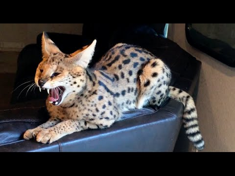 Are Serval Cats Mean?