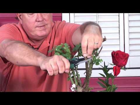 Growing Roses : Rose Bush Care & Maintenance