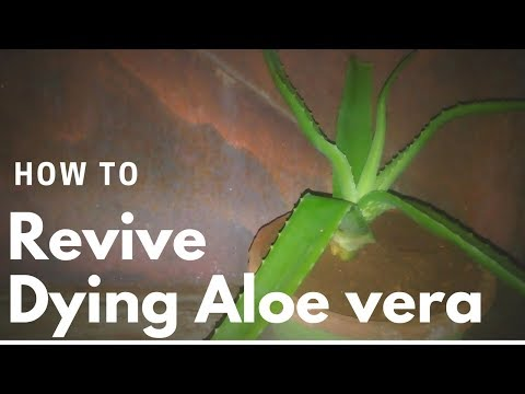 How to revive a dying aloe vera plant