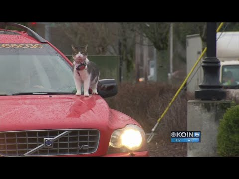 Man lets cats ride on hood of car
