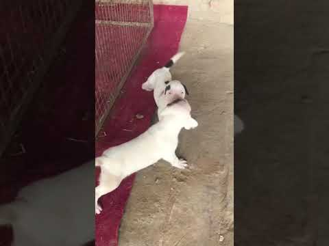 Small dog fight