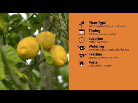 How to Grow Citrus | Mitre 10 Easy As