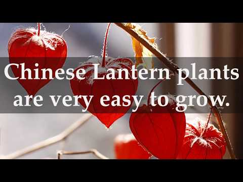 How to Grow Chinese Lantern Plants at Home
