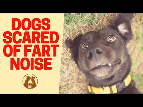 Dog 🐶 Scared of Fart Noise - 😂 Dogs Scared of Owners' Farts
