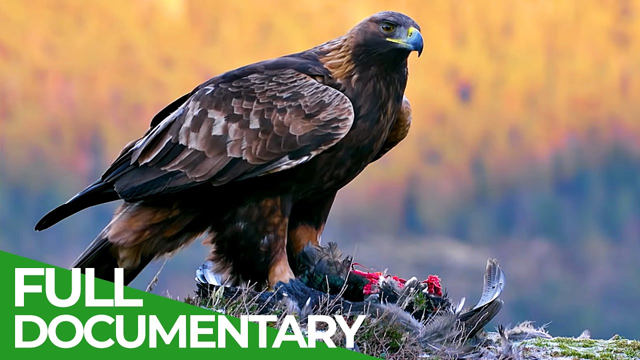 The Golden Eagle - Master of the Sky | Free Documentary Nature