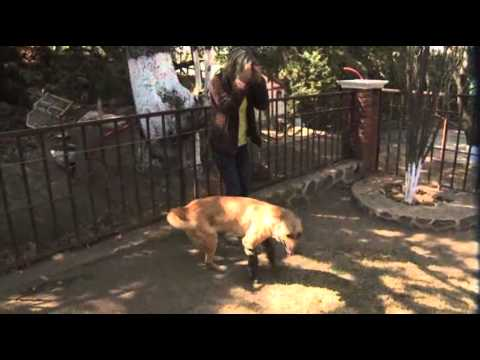 Prosthetic Legs Help Mexican Dog Recover