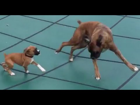 BOUNCING BOXERS ON POOL COVER!! Brock and Bonnie the Boxer puppies!