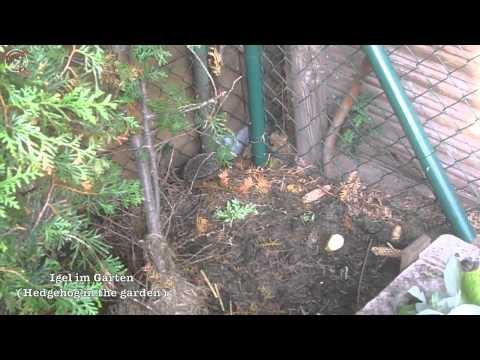 A Hedgehog in the garden - iceworx.org