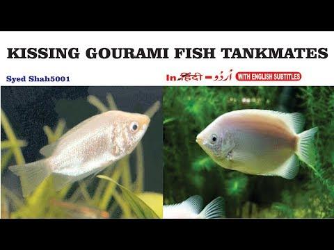 Kissing Gourami Tank Mates - Fish with Gourami? Peacefull tankmates of kissing gaurami fish