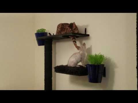 Bengals playing on wall mount cat tree
