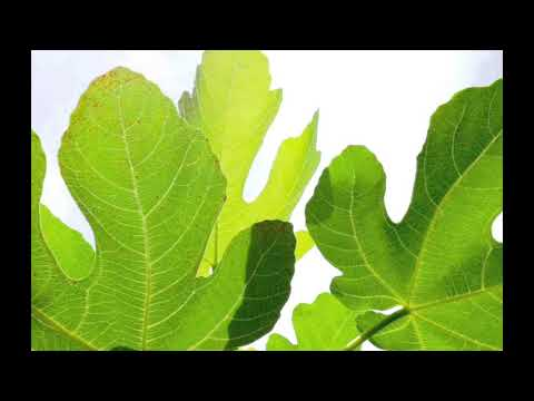 These Leaves Can Fight Cholesterol, Diabetes and Triglycerides
