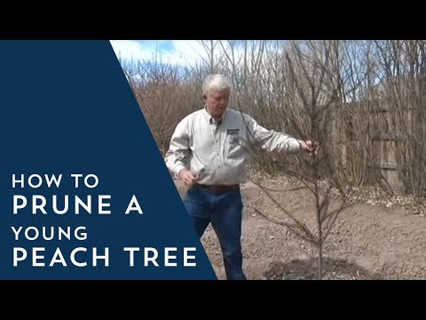 How to Prune Young Peach Trees