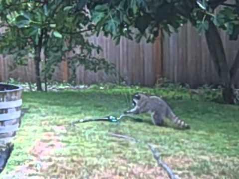 Baby Raccoons Play in Sprinkler