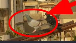 Karachi Pigeons Videos - Veso club Online watch