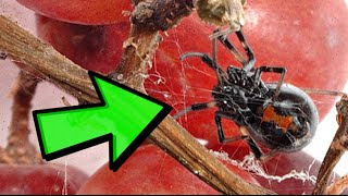 Download Black Widow Spider Video