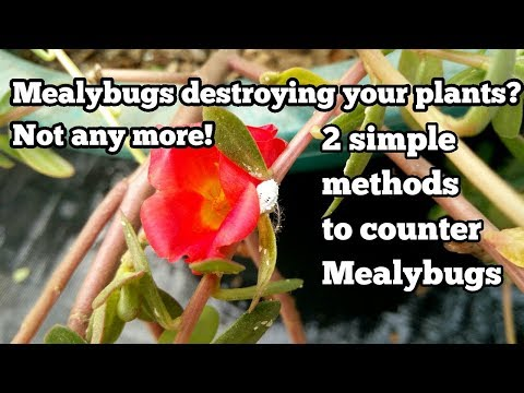 2 best methods to get rid of mealy bugs!