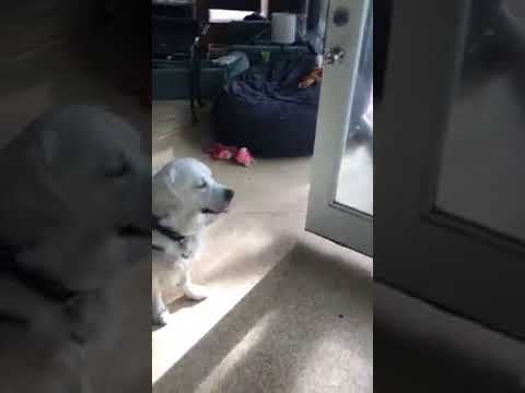 Service Dog in Training Learns the Command