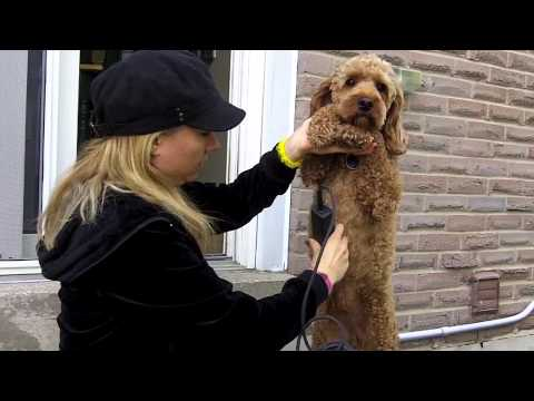 Cockapoo Grooming Tips - Underbelly Area
