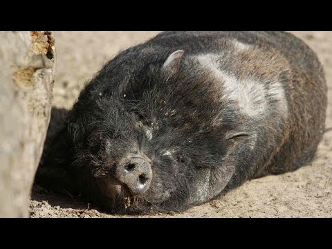 How Long Do Potbellied Pigs Live? | Pet Pigs