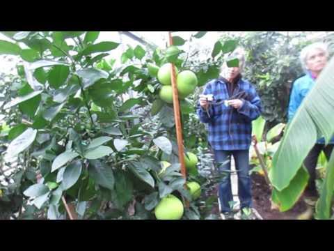 Growing  Organic Citrus on Salt Spring Island, Canada