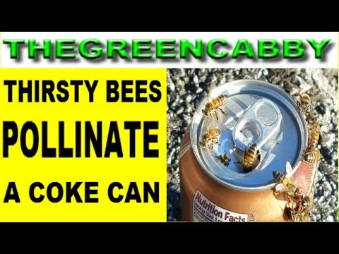 THIRSTY BEES POLLINATE A COKE CAN - THIS COLA SODA GETS ATTACKED BY EVERY BUMBLE BEE ON THE BLOCK