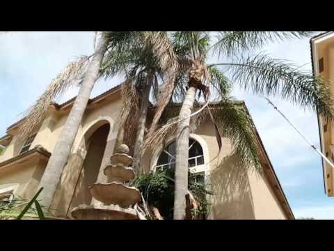How to cut a palm tree without a ladder or power tools