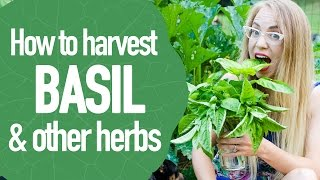 How To Harvest And Prune Herbs Like Basil And Oregano So They Grow Tw