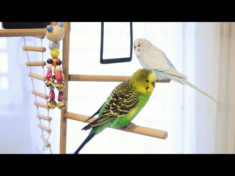 3 Hour Budgie Sounds for Lonely Budgies