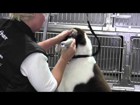 Springer Spaniel clipped-Face- Ear