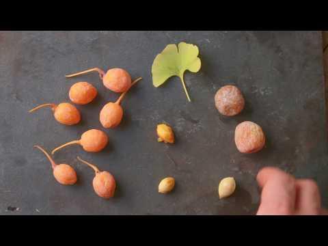 Wild Gingko Nuts