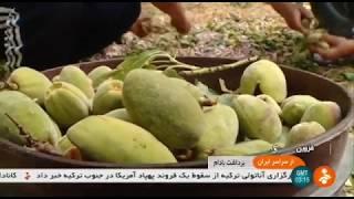 Iran Reshtghun village, Qazvin province, Almond harvest برداشت بادام روستاي رشتقون قزوين ايران